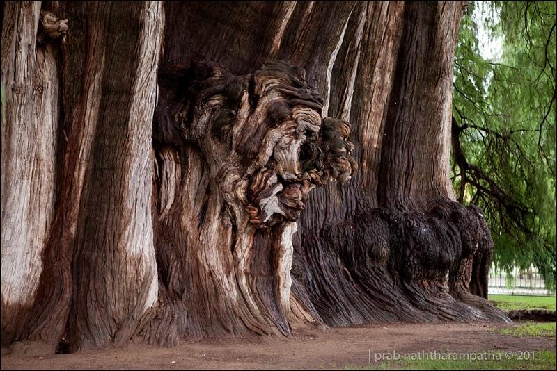 дерево Туле (8)