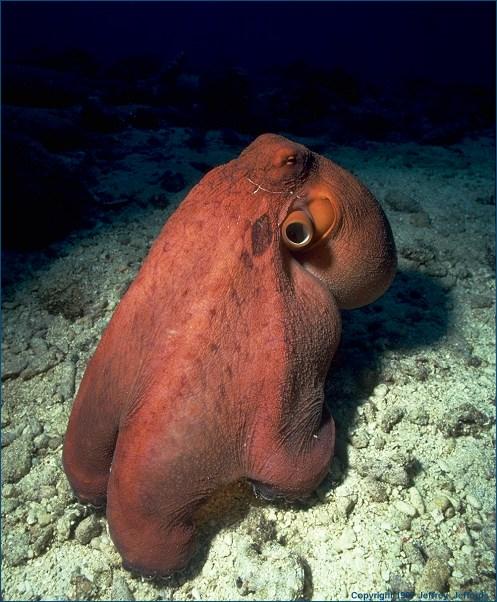octopus_